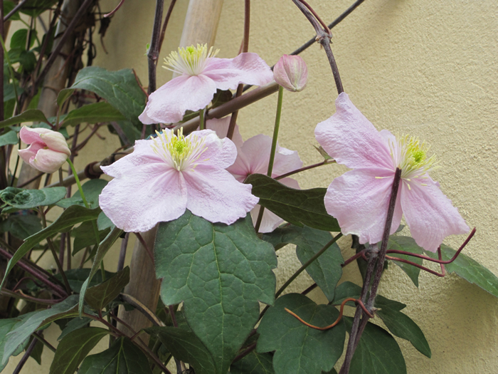 Clematis rosa